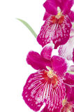 Pansy Orchid - Miltonia Lawless. Closeup of beautiful Pansy Orchid - Miltonia Lawless Falls  flowers Stock Image