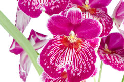 Pansy Orchid - Miltonia Lawless. Closeup of beautiful Pansy Orchid - Miltonia Lawless Falls  flowers Royalty Free Stock Photo