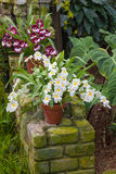 Pansy Orchid Royalty Free Stock Image