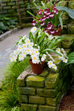 Pansy Orchid Stock Images
