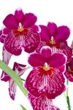 Pansy-Orchidee - Miltonia gesetzlos lizenzfreie stockfotografie