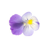 Pansy over white background Stock Photography