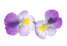 Pansy over white background Stock Image