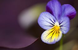 Pansy with Oxalis. Close-up on pansy next to an Oxalis Royalty Free Stock Photos