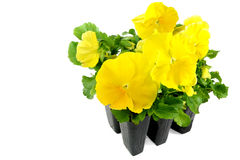 Pansy Pack. A pack of yellow pansies ready to plant in the garden Royalty Free Stock Images