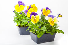 Pansy Paks. Pansy transplants grown in greenhouse packs Stock Photography