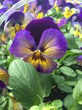 Pansy Perfect Immagini Stock