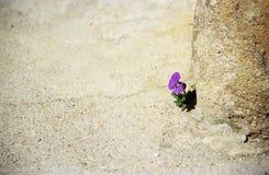 Pansy persistente Fotografie Stock