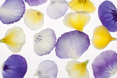 Pansy petals stock photo