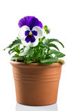 Pansy in a pot Stock Photo
