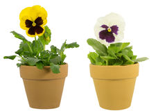 Pansy in the pot Royalty Free Stock Photography