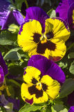 Pansy purple flowers Royalty Free Stock Images