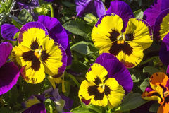 Pansy purple flowers Stock Image