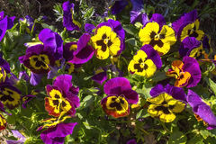 Pansy purple flowers Stock Photography