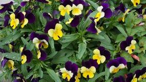 Pansy purpurowy żółty kwiat zdjęcie royalty free