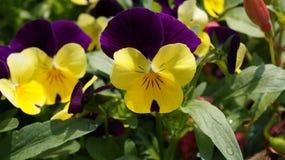 Pansy purpurowy żółty kwiat obrazy stock