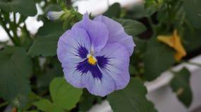 Pansy purpurowy błękitny kwiat obraz royalty free