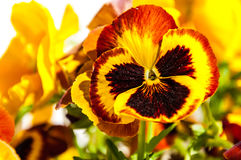 Pansy red yellow black closeup Stock Photography