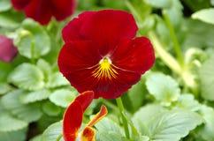 Pansy rosso fotografie stock libere da diritti