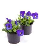 Pansy roxo azul Fotos de Stock