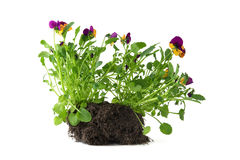 Pansy. Seedling pansies with earth on white background Stock Photos
