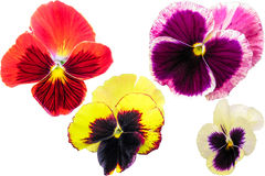 Pansy set isolated on white background. Viola tricolor red blue yellow macro closeup Stock Photo