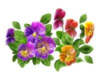 Pansy Spring flower. Violet Pansy flower on white background. Hand drawn digital color Illustration. For Art, web, print, wallpaper, greeting card, fashion vector illustration