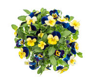 Pansy spring flowers white background Blue yellow Stock Images