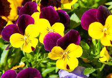 Pansy in sunny spring day Stock Photos