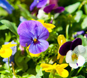 Pansy in sunny spring day Royalty Free Stock Photos