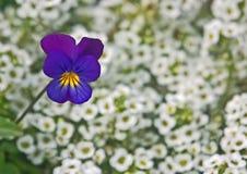 Pansy unter kleinen weißen Blumen Stockfotos
