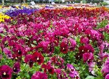 Pansy-Vielzahl in den Blumenbetten Stockfoto
