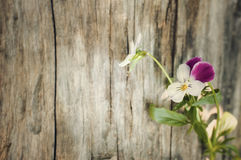 Pansy on vintage wooden background. Viola tricolor on vintage wooden background  Summer flowers on vintage wooden background Stock Photography