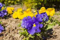 Pansy (Viola ×wittrockiana Gams, garden pansy, Viola tricolor var. Hortensis) Royalty Free Stock Photos