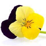 Pansy viola e giallo Fotografie Stock