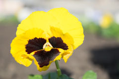 Pansy, viola Stock Images