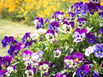 Pansy Viola tricolor flower Stock Image