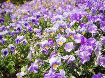 Pansy Viola tricolor flower Stock Photo