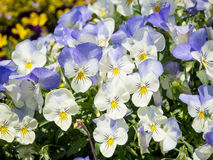 Pansy Viola tricolor flower Stock Images