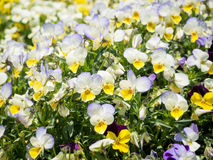 Pansy Viola tricolor flower Royalty Free Stock Images