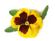 Pansy (Viola tricolor). The pansy is used in phytotherapy royalty free stock image