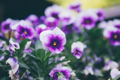 Pansy or Viola tricolor, Violet Flower. Natural wallpaper. close-up stock photos