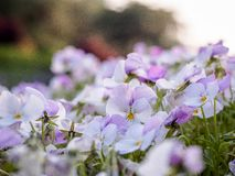 Pansy or Viola tricolor, Violet Flower. Natural wallpaper. close-up royalty free stock image