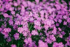 Pansy or Viola tricolor, Violet Flower. Natural wallpaper. close-up stock image