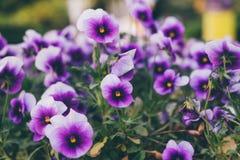 Pansy or Viola tricolor, Violet Flower. Natural wallpaper stock images