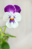 Pansy viola tricolor white background Stock Photography