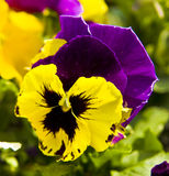 Pansy (viola tricolour) Stock Photos