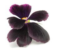 Pansy Violet Royalty Free Stock Photography
