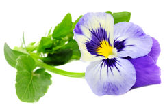 Pansy Violet royalty free stock photo