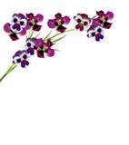 Pansy Violet Royalty-vrije Stock Afbeeldingen